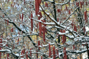 Catkins on a winter tree in the Summerland Ornamental Gardens