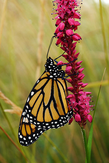 Monarch butterfly at Summerland Ornamental Gardens- your donation helps!